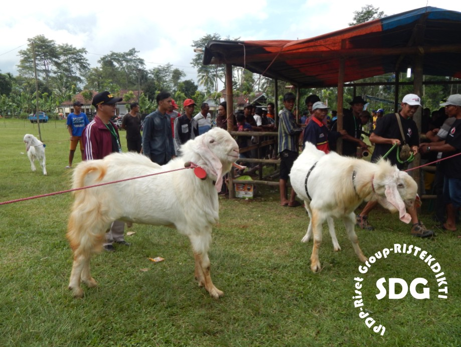 Gambar 1. Foto kambing Senduro Jantan peserta kontes ternak kambing Senduro. Lumajang Jawa Timur pada tanggal 28-05-2016 di desa Kandangan, Senduro Lumajang (Fofo : Eko Budi Susilo, Tim LPDP-RISPRO-Komersial: Bank Sel game (spermatozoa): an Dr. Gatot Ciptadi,dkk.). Foto bisa dimanfaatkan dengan menyebut sumbernya. 2016.