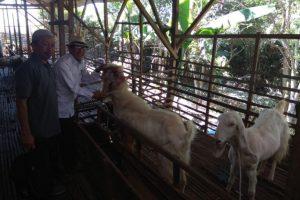 Sepasang kambing Senduro untuk dikembangkan sebagai penghasil susu